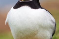 Lunga - Pingouin de Torda