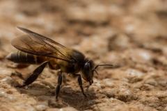 Sigiriya abeille de la taille de nos reines
